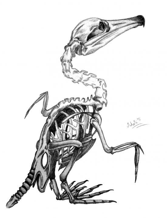 Cormorant skeleton