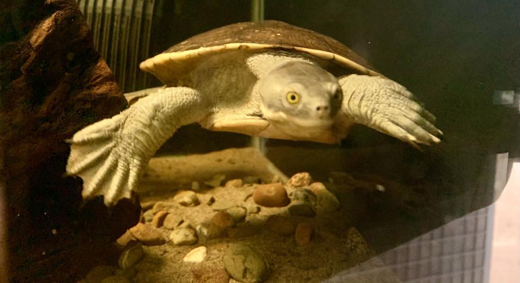 Macquarie River Turtle