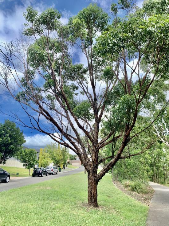 LOCAL TREE
