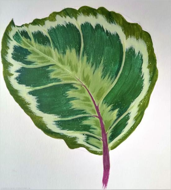Calathea Medallion leaf