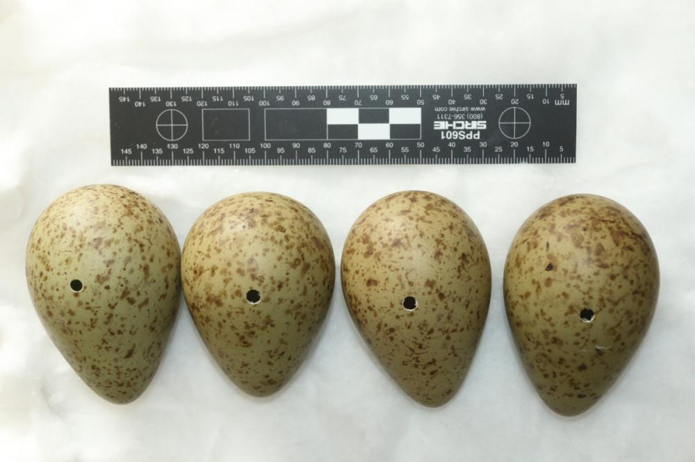 Curlew eggs found in the collection. Credit G Shorrock