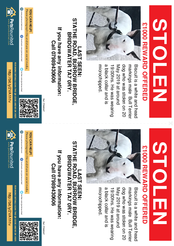 Stolen pet flyers - Stolen dog: White and Head Markings Bull Terrier dog called Biscuit