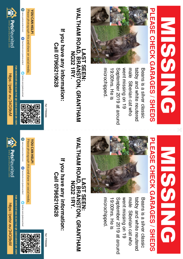 Lost pet flyers - Lost cat: Silver classic tabby and white Siberian cat called Beans