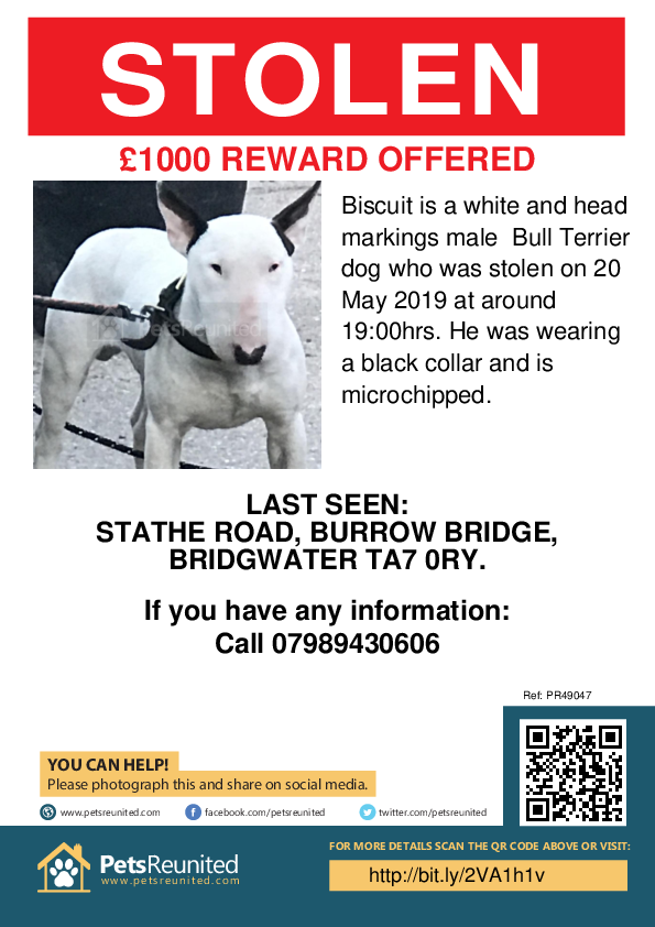 Stolen pet poster - Stolen dog: White and Head Markings Bull Terrier dog called Biscuit