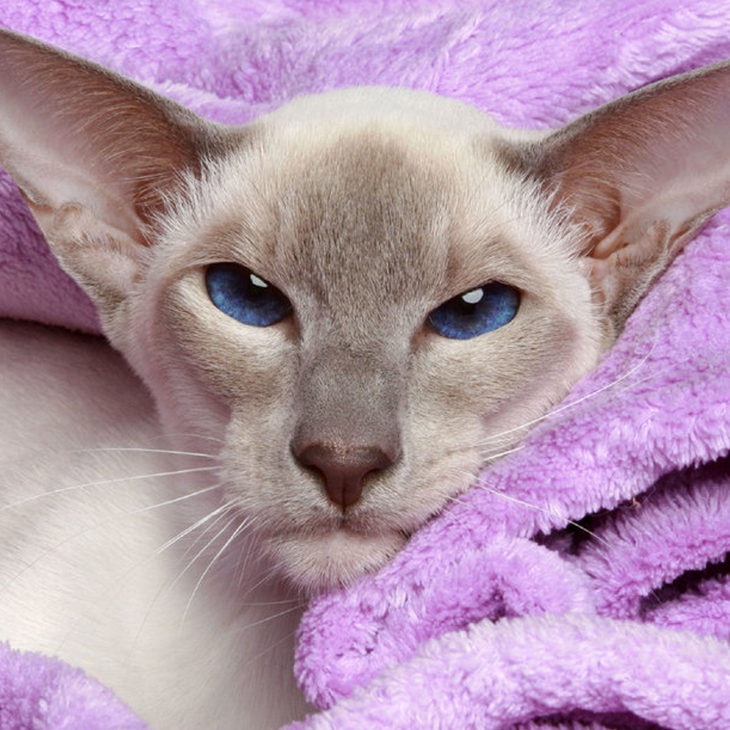 Hosted By Siamese Rescue