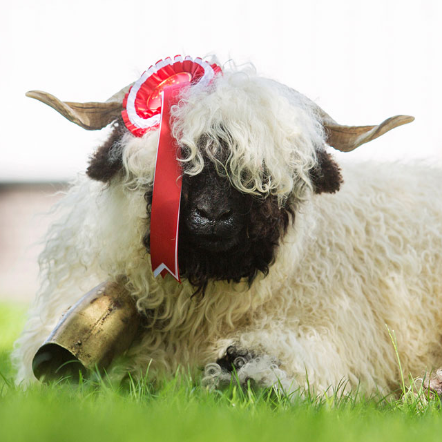 Hosted By Valais Blacknose Sheep Society UK