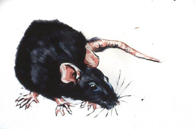 Black Rat<span>Copyright Maggie Jennings</span>