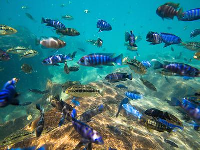 Assorted Malawi Cichlids