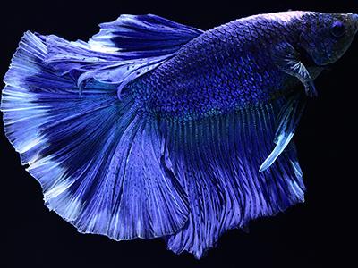 Blue Siamese Fighter
