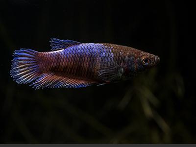 Female Figher