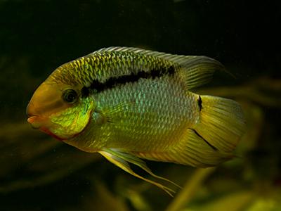 Festive Cichlid