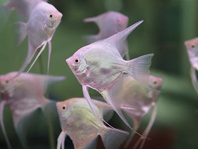 Ghost Angelfish