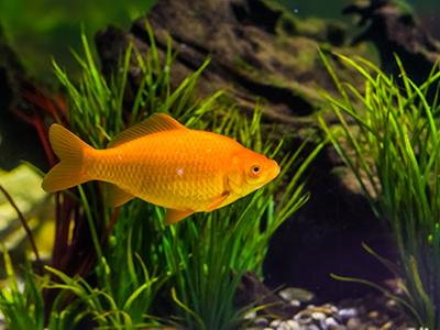 Golden Rudd