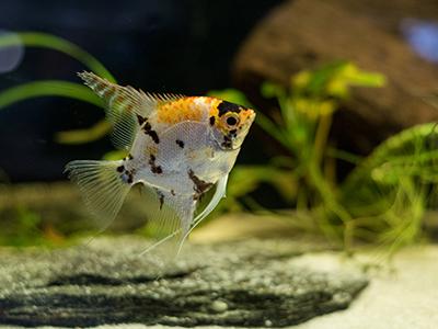 Marble Angelfish