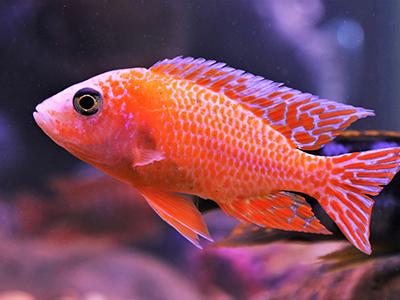 Orange Peacock Cichlid