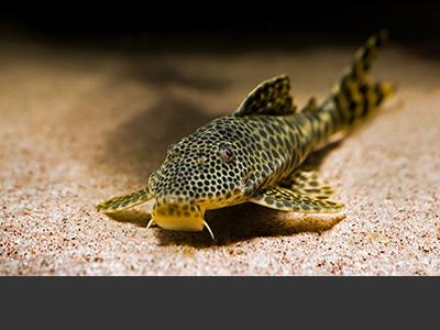 Pimelodella Catfish