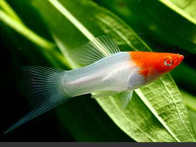 Red and White Swordtail