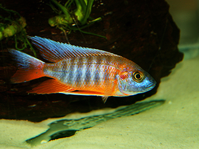 Red Neck Blue Peacock Cichlid