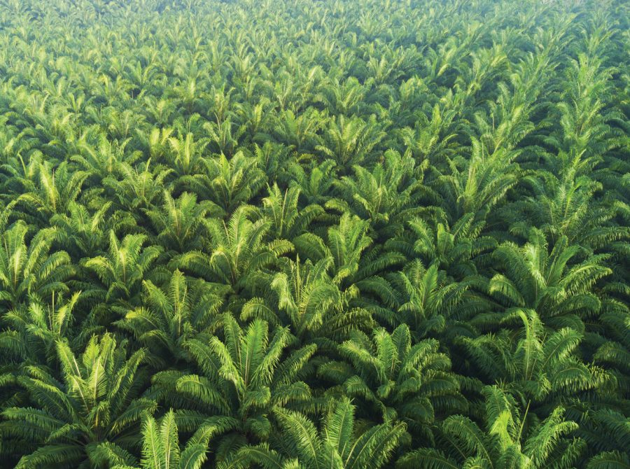 Prep Palm plantation stock 1300 1100