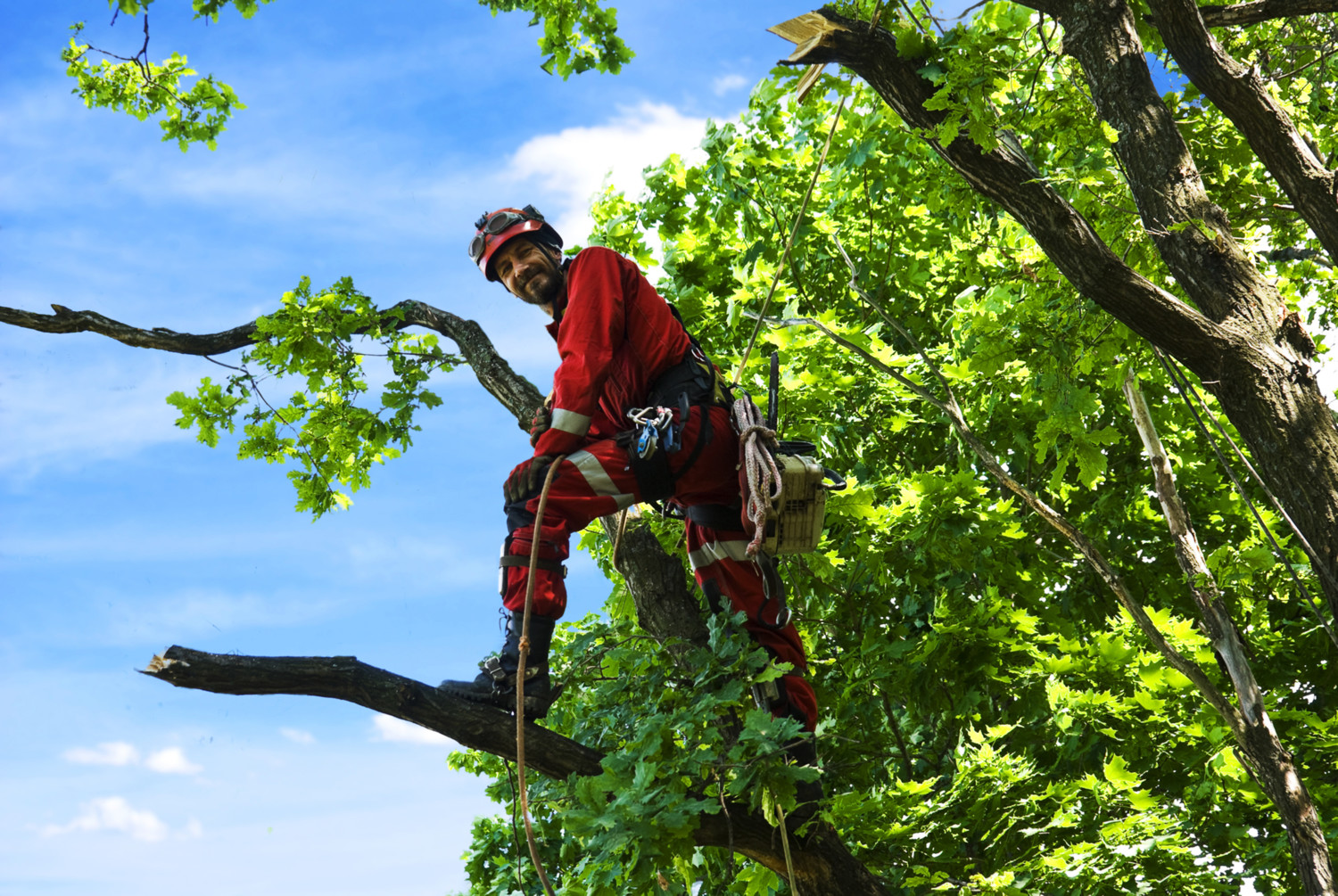 Man saws oak chainsaw at height