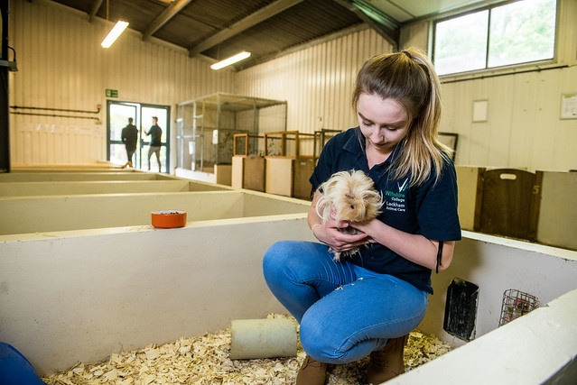 female animal care student holding a guinea pig