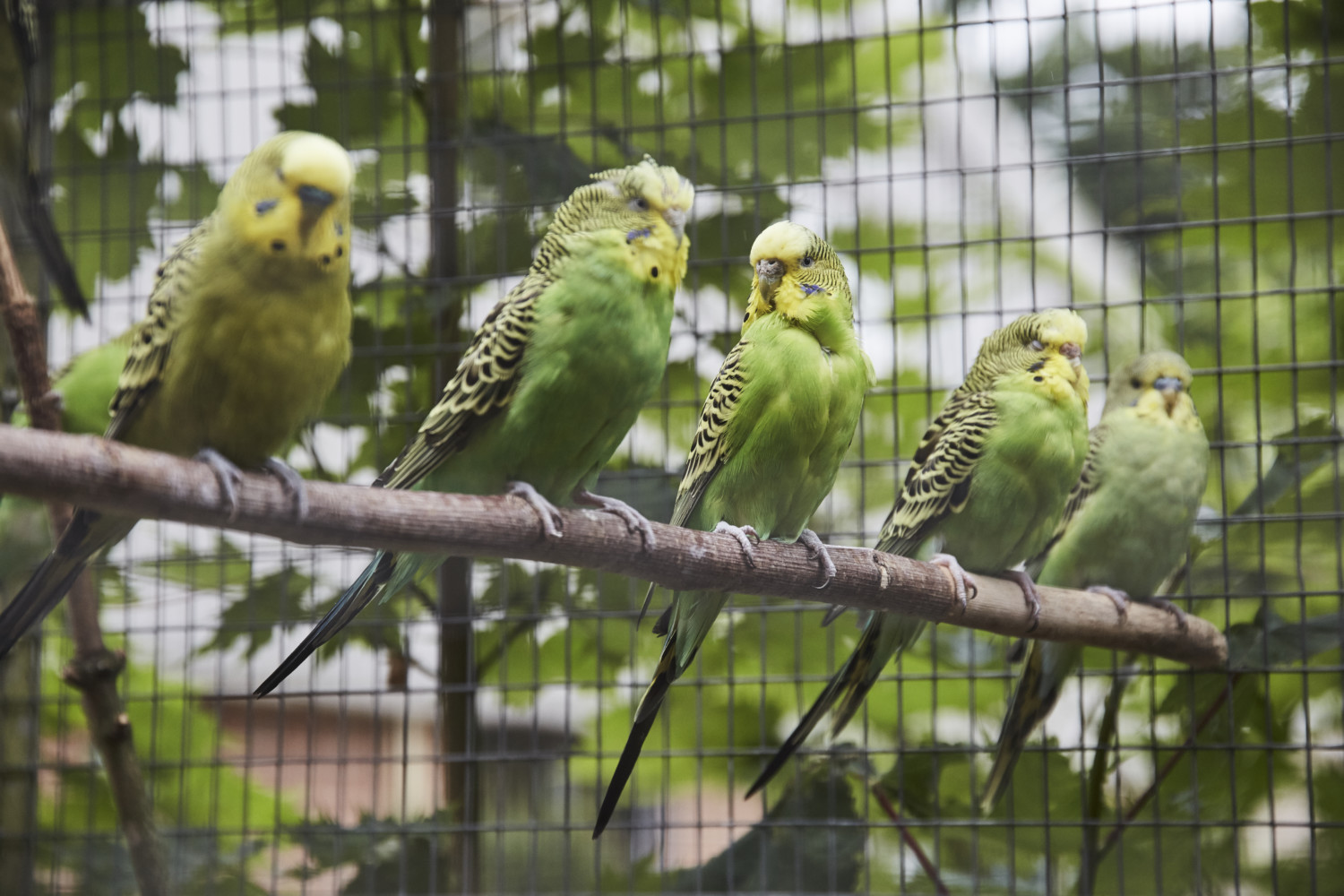 five green budgies sat on a branch