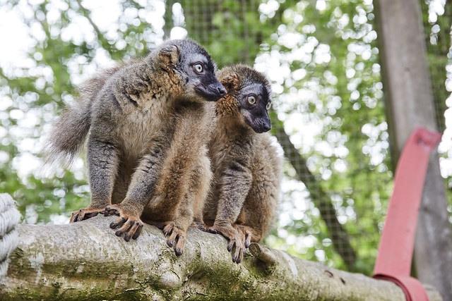 two lemurs staring