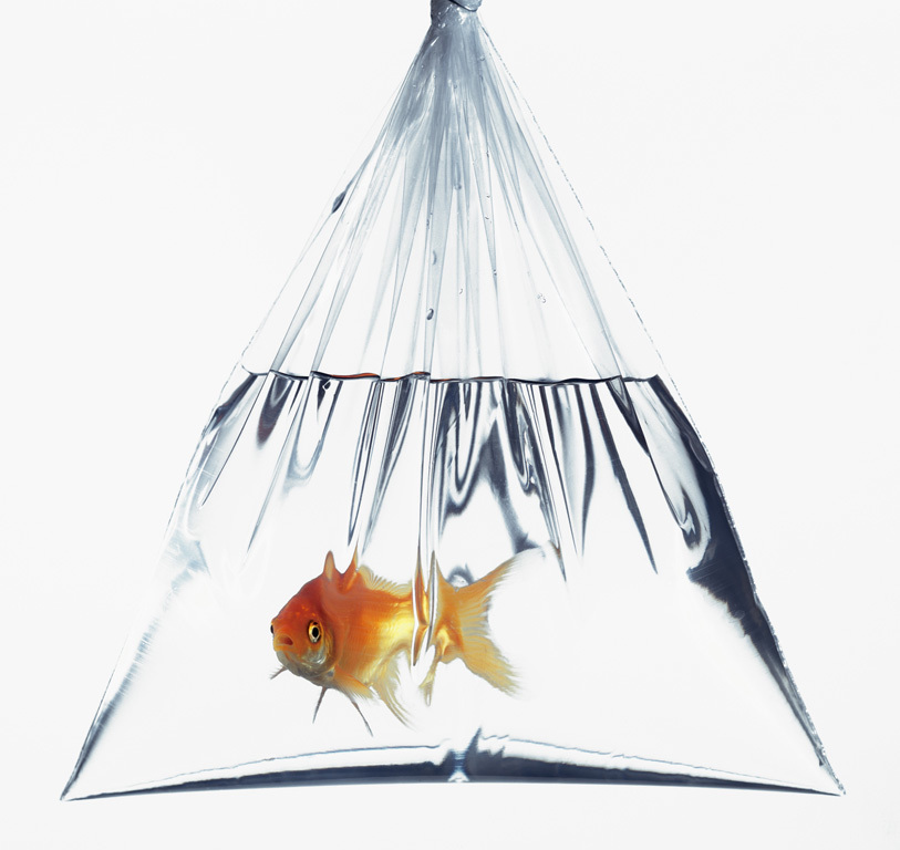 goldfish in transparent bag