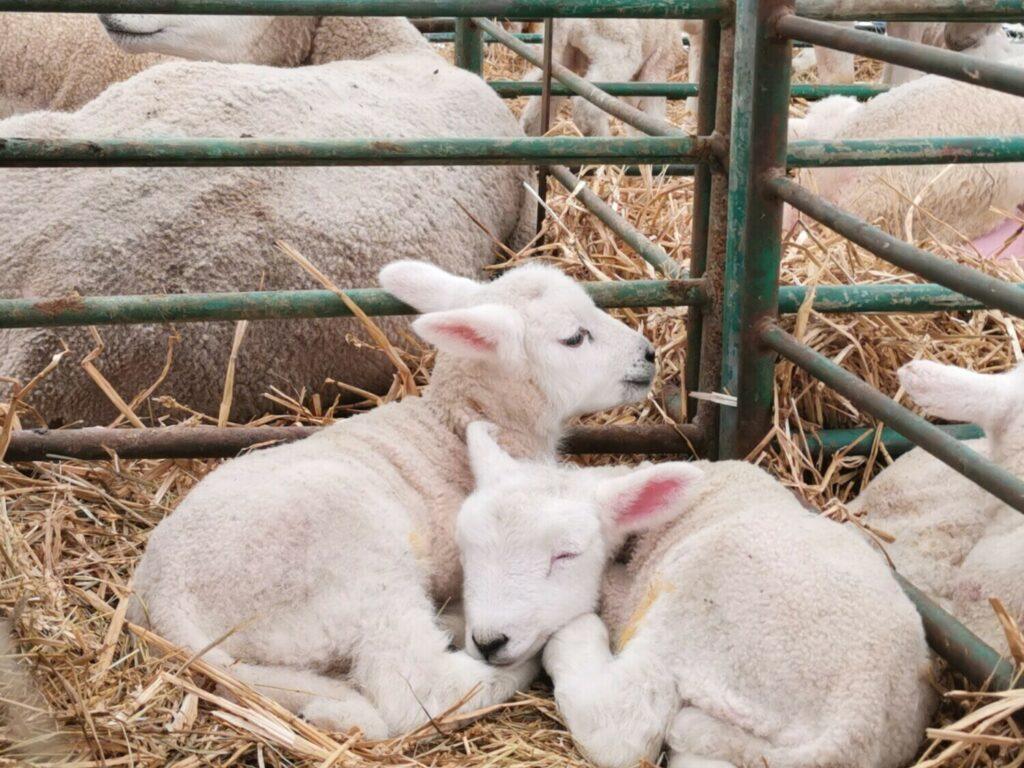 Lambing 1
