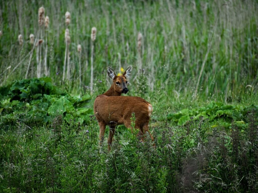 Deer forweb