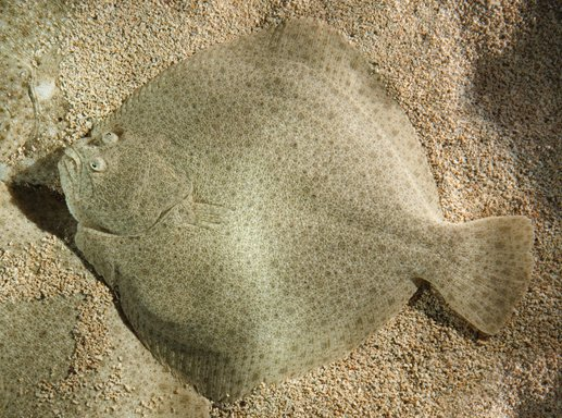 Figure 3: a very odd form of binocular vision in the animal kingdom. The young turbot