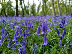 Bagley Wood Bluebells