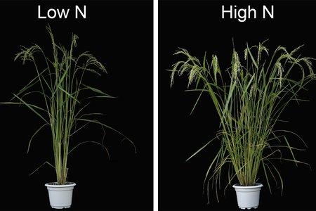 Nicholas Harberd - rice in Science v2