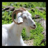 nik the goat