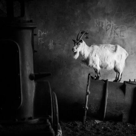 welsh goat by Kevin Morgans
