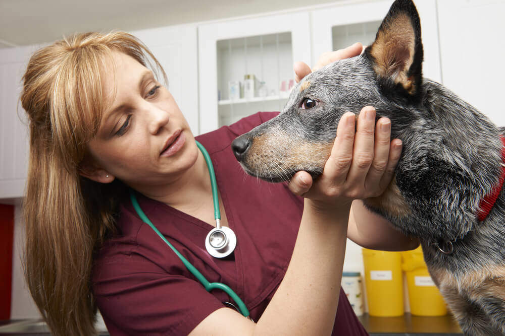 Advanced Diploma in Veterinary Support Assistant - Level 3