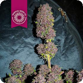 Smooth Smoke Feminised Seeds