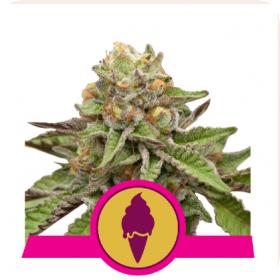 Green Gelato Feminised Seeds