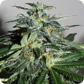 Cyber Cristal Feminised Seeds