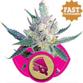 Royal Cheese FAST Version Feminised Seeds