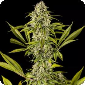 Royale  Haze  Feminised  Cannabis  Seeds  Jpg