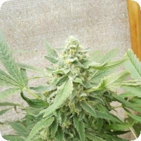Sweet-O Feminised Seeds (Limited Edition) Seeds