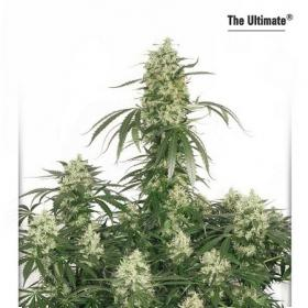 The Ultimate Feminised Seeds