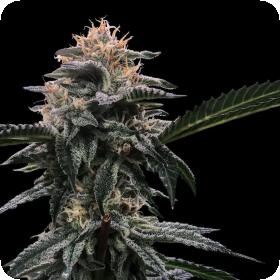 Banana Sorbet Feminised Seeds (Sorbet Collection)