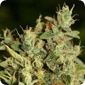 ChemWreck Kush Regular Seeds