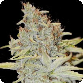 Furious Candy Feminised Seeds