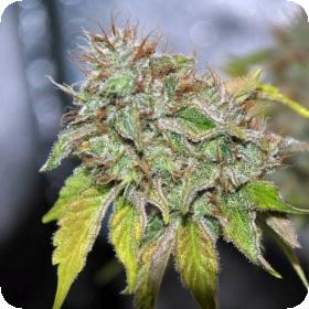 Grandaddy  Confidential  Feminized  Jpg
