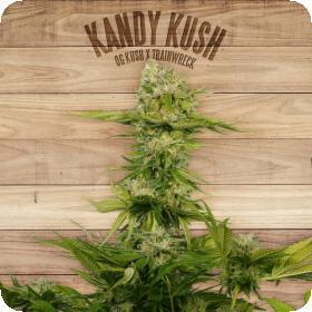 Kandy Kush Feminised Seeds