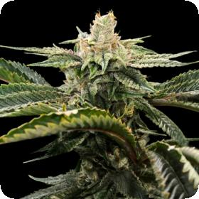 Miss U.S.A. Feminised Seeds