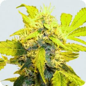 Misty Kush Feminised Seeds